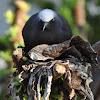 Common noddy (nesting)