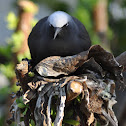 Common noddy (nesting)
