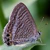 (波紋小灰蝶)Lampides boeticus