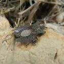 Flat Bark Bug