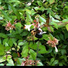 Abelia flowers and a Bumble bee