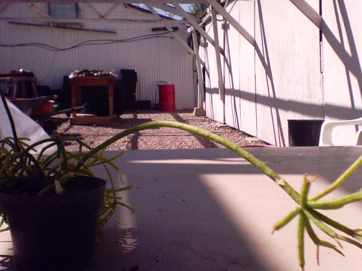 pencil plant euphorbia