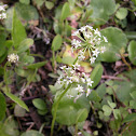 Manyflower Marsh Pennywort