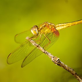 Yellow dragonfly in the bushes.  by Faizan Hussain - Animals Insects & Spiders ( adventure, nature, bushes, green, beautiful, wildlife, yellow, insects, dragonfly, close up,  )