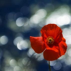 Waterside Poppy by Ian Taylor - Flowers Single Flower ( reflection, nature, park, waterside, lake, poppy, bokeh, hardwick, pond )