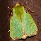 Parasa Moth
