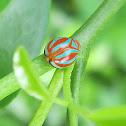Domed Planthopper