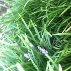 Lily-turf