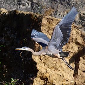 The Great Blue Heron by Steve Kane - Animals Birds