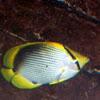 Black Back Butterfly Fish