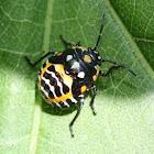 Harlequin Bug (nymph)