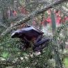 Tree Frog(Rhacophorus Rizali)