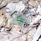 Six spotted tiger beetle.