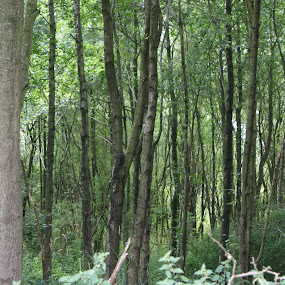 Thin forest. by Robin Watson - Nature Up Close Trees & Bushes ( nature, natural lighting, trees, thin trees, simplistic )