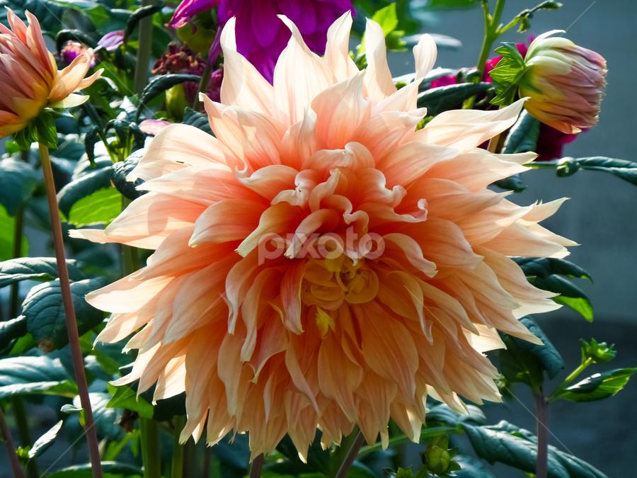 Huge Dahlia by Monzur Sazid Ahmed - Flowers Flower Gardens ( dahlia )