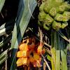 Screw pine, Pandanus Palm or Screw Palm
