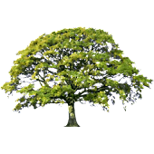 Oak Tree Spring Sticker