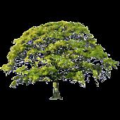 Oak Tree Spring Sticker