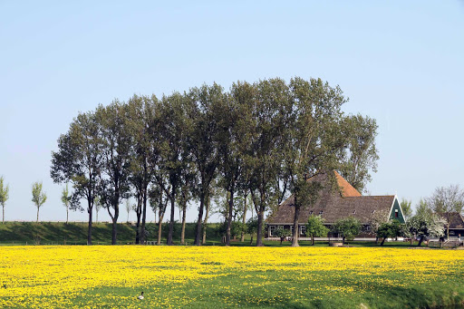 A landscape of wildflowers in the Beemster Polder, north of Amsterdam in the Netherlands.