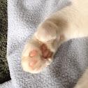 Mitten Cat, Boxing Cat, Polydactyl