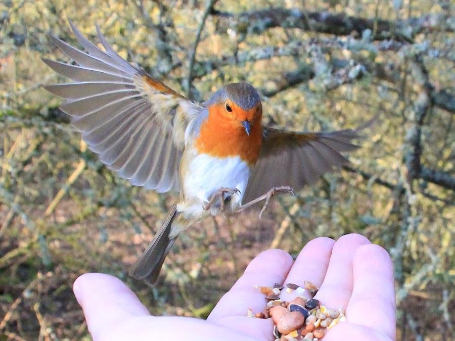 Wingspan by Tony Walker - Animals Birds ( hand, bird, robin, flight, landing, wings, food )