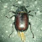 stag beetle (female) - Hirschkäfer (weiblich)