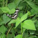 Nymphalidae, Melitaeini Crescent