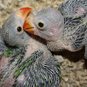 Indian Ringneck chicks