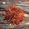Orange-mat Coprinus