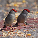 Red browed firetail /finch