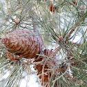 Turkish Pine
