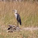 White-necked-Heron or Pacific Heron