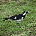 Australian Magpie Lark (peewee)