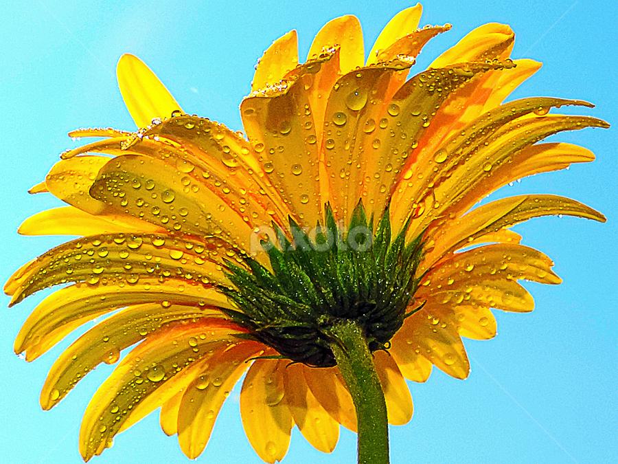 yellow gerber by LADOCKi Elvira - Flowers Single Flower ( nature, 2014, flowers, garden )