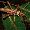 Spiny Stick Insect, Phasmid - Male