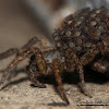 Thinlegged Wolf Spider and babies