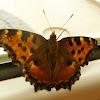 Large Tortoiseshell Butterfly / Veliki koprivar