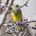 Citril Finch; Verdecillo Serrano