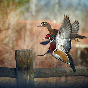 Together, We Fly! by M Knight - Digital Art Animals ( bird, animals, wood duck, digital art, ducks, duck, wildlife, birds, animal )
