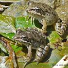 Cretan Frog