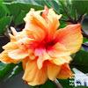 Hibiscus or Gumamela