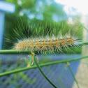 Fall Webworm Moth Caterpillar