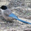 Iberian Azure-winged Magpie; Rabilargo