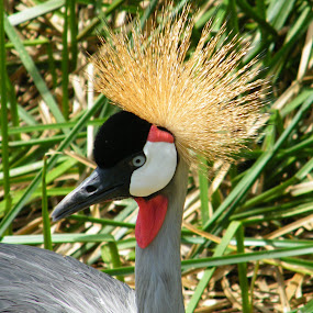 African Crown Crane by Donna Probasco - Novices Only Wildlife (  )