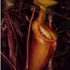 Giant Pitcher Plant