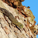 Shovel Tail Lizard
