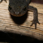 salamandra de costelas salientes