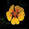 Avens Flower