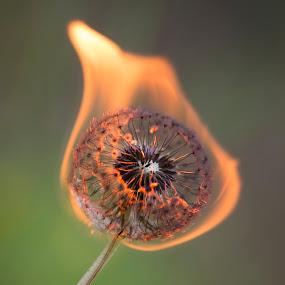 Burning Dandelion by Manuela Kägi - Flowers Flowers in the Wild ( dandelion, pain, hot, summer, burning )