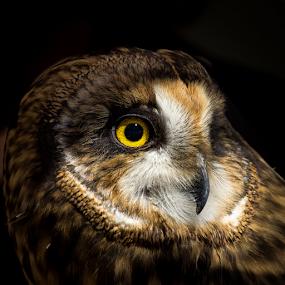 Short-eared Owl Portrait by Ken Wade - Animals Birds ( bird of prey, owl, nature close up, asio flammeus, raptor, ojai raptor center, short-eared owl,  )